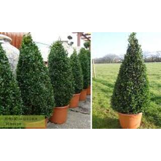 BUXUS MICROPHYLLA FAULKNER Cone 18/25ltr