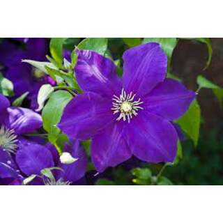 Clematis jack. Jackmanii purple