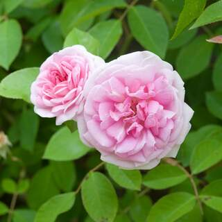Rosa Blairii no. Two