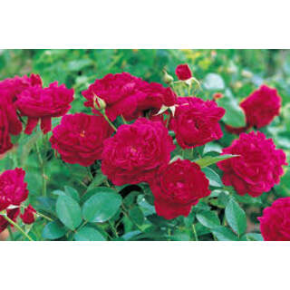 Rosa Darcey Bussel ® Colour: Red