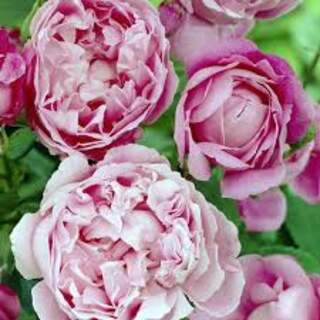 Rosa Mary Rose ® Colour: Pink