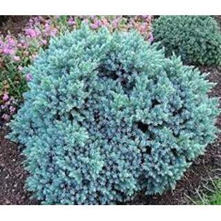 junipers blue star Colour: Red
