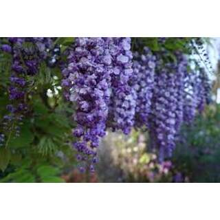 WISTERIA IN VARIETIES