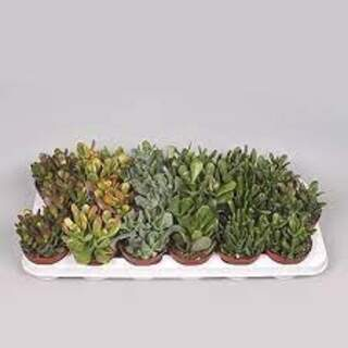 Crassula mixed