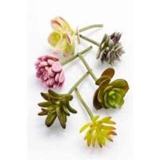 Succulent assortment bag Colour: Mixed