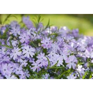 PHLOX sub. Fabulous Exp. Blue Dark Centre