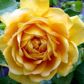 Rosa  Graham Thomas  ® Colour: Yellow