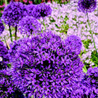 Allium holl.  Purple Sensation