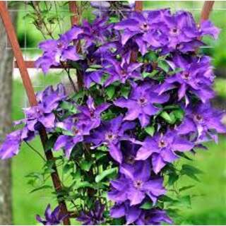 Clematis The President purple