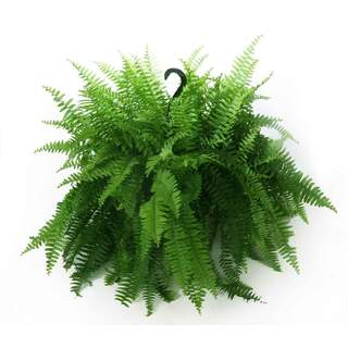 Fern Mixed Hanging