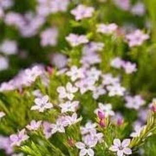 DIOSMA ERICOIDES SUNSET GOLD