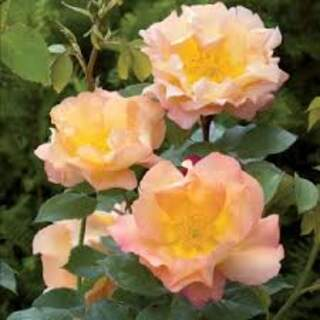 Rosa Fighting Temeraire ® Colour: N/A