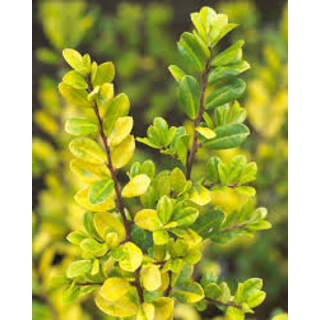 ILEX CRENATA GOLDEN GEM   6/Tray