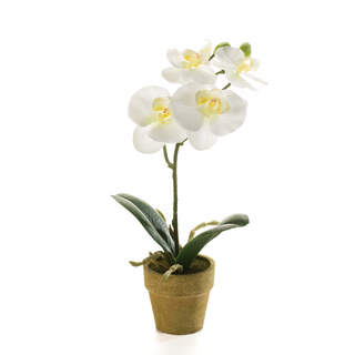 Phalaenopsis mini 25cm cream in paper pot 6cm