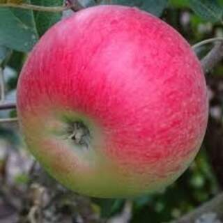 APPLE DISCOVERY