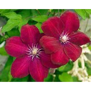Clematis jack. Rouge Cardinal red