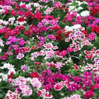 Dianthus  mixed